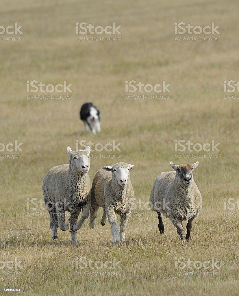 Running die Schafe (Ovus Widder Lizenzfreies stock-foto