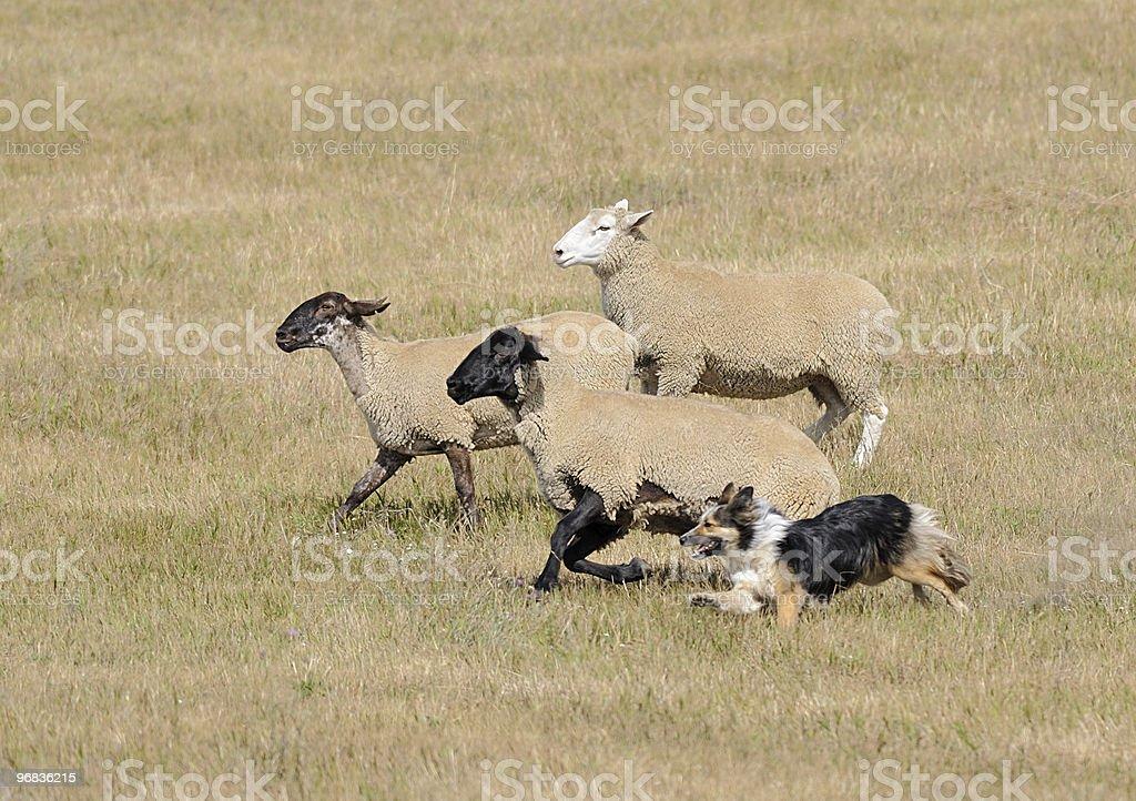 Running the Sheep (Ovus aries) stock photo