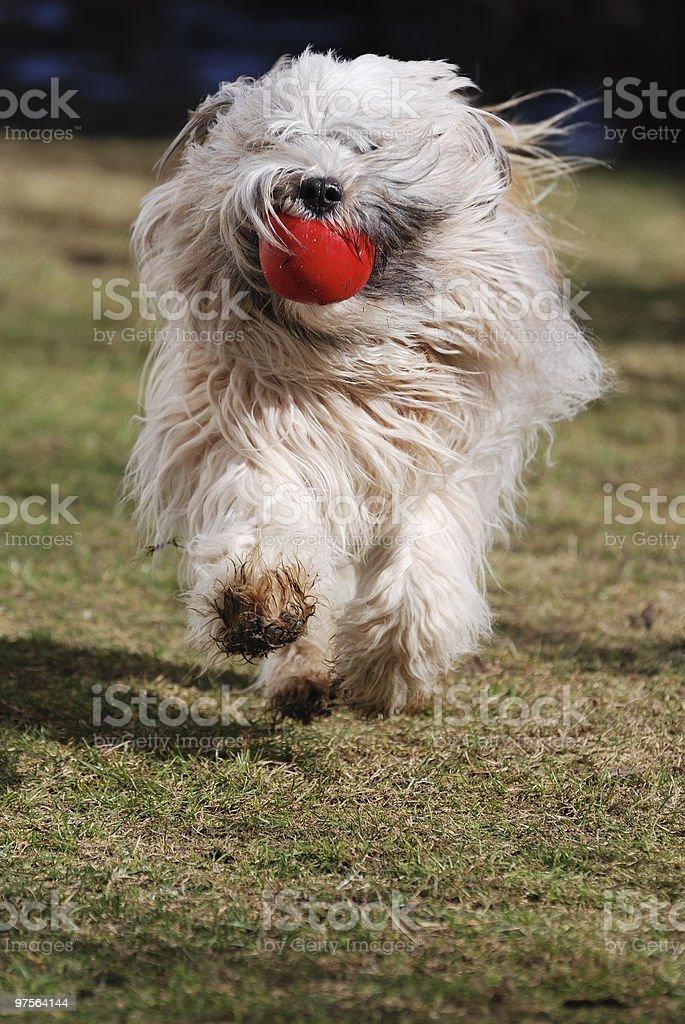 Running Tibetan terrier dog royalty-free stock photo