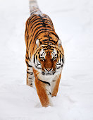 a siberian tiger running through the snow