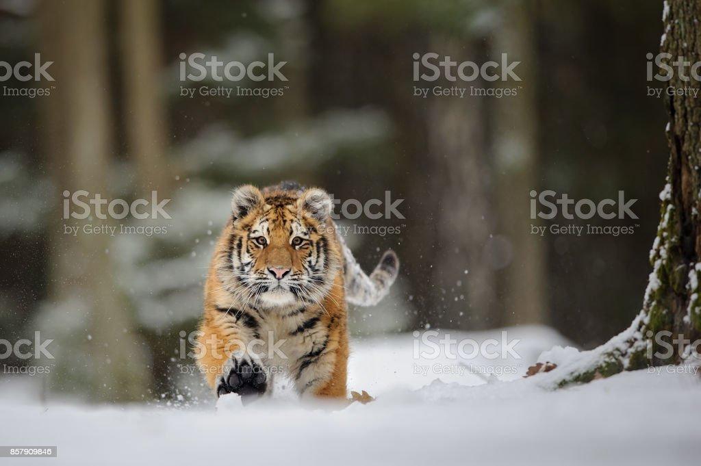 Tiger auf Schnee laufen – Foto