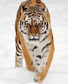 a siberian tiger running through the snow