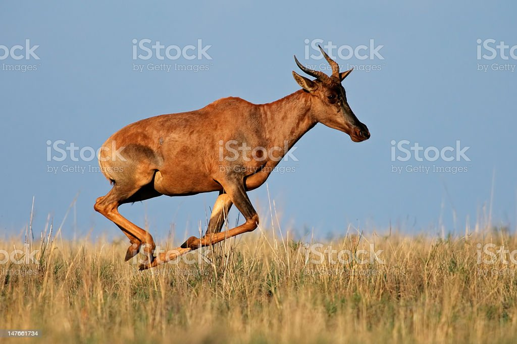 Running Tsessebe antelope royalty-free stock photo