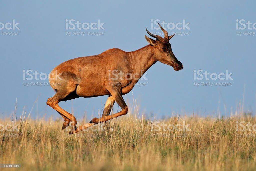 Running Tsessebe antelope stock photo
