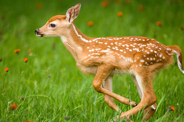 Running very young whitetail deer with spots. stock photo
