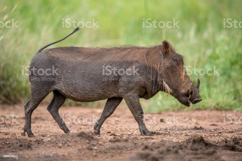 Running Warthog foto de stock libre de derechos