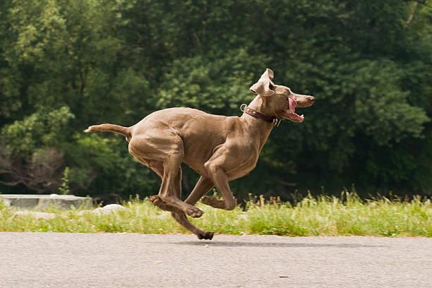 Running Weimaraner dog in funny pose