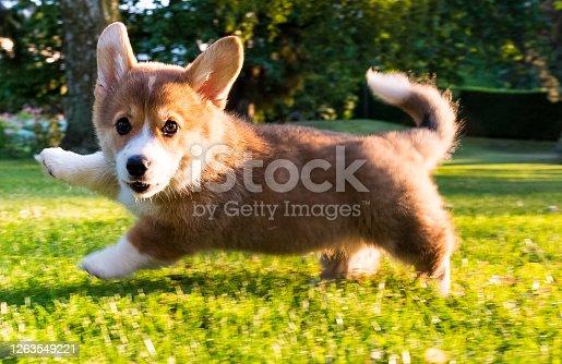 running Welsh Corgi Pembroke puppy