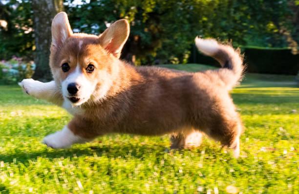 running Welsh Corgi Pembroke puppy stock photo