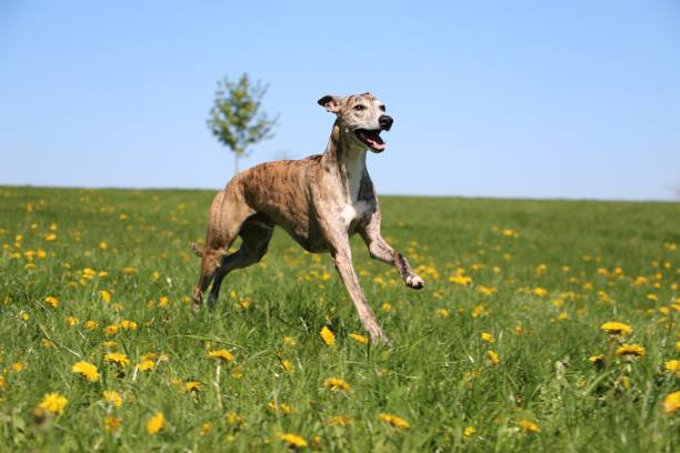 running whippet in the park beautiful brindle whippet is running on a field with dandelions whippet stock pictures, royalty-free photos & images