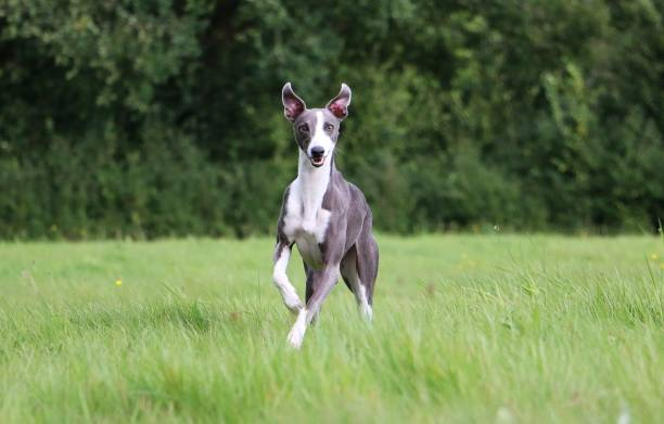 running whippet beauiful whippet is running in the park whippet stock pictures, royalty-free photos & images