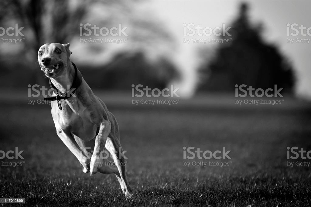 running whippet royalty-free stock photo