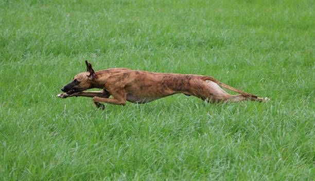 running whippet whippet is running in the garden sight hound stock pictures, royalty-free photos & images