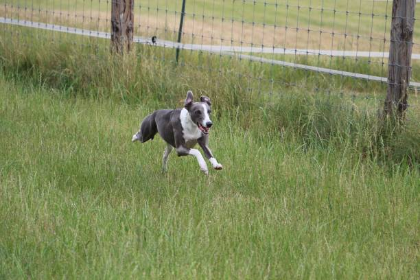 running whippet beautiful whippet is running in the garden sight hound stock pictures, royalty-free photos & images