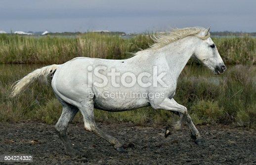 istock Running white horse 504224332