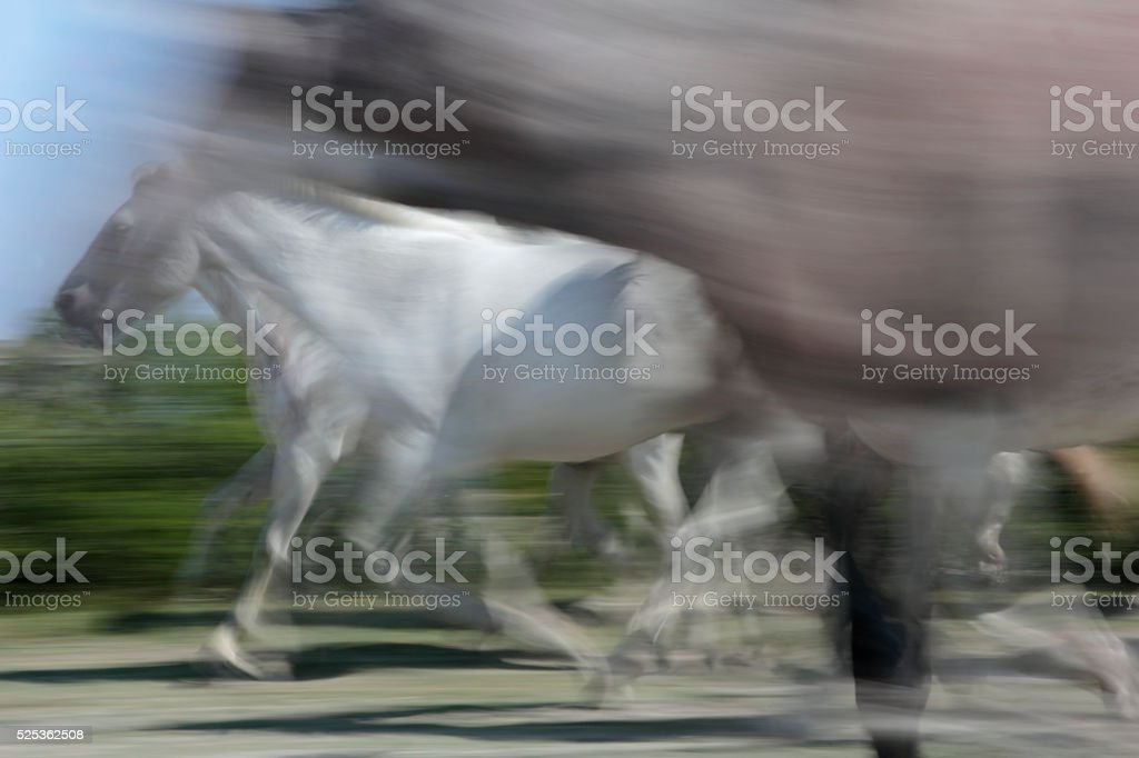 Running white horses stock photo