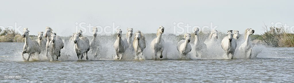 Running White horses through water stock photo