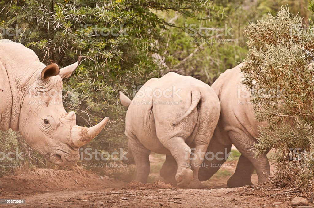 Running White Rhinos royalty-free stock photo