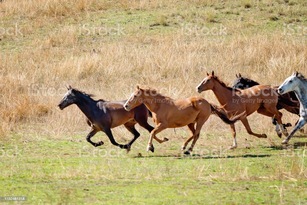Running Wild Horses Stock Photo Download Image Now Istock