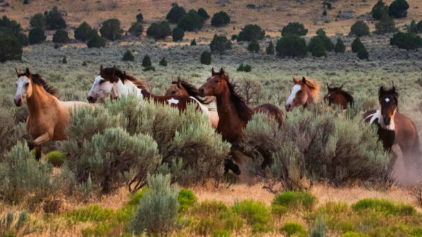 Running WIld Horses Group of wild horses running on the open mountain range. appaloosa stock pictures, royalty-free photos & images