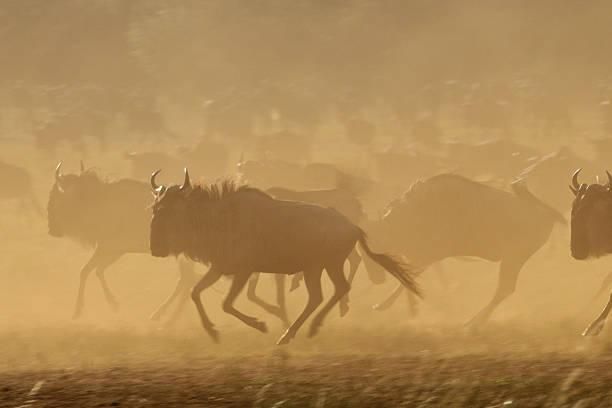 Running Wildebeests Wildebeest on the run in Masai Mara, Kenya, Africa wildebeest running stock pictures, royalty-free photos & images