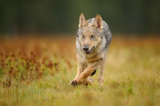 Running Wolf Cub From Front View Stock Photo - Download ...