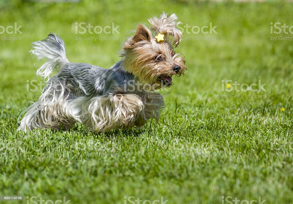 Running yorkshire terrier royalty-free stock photo