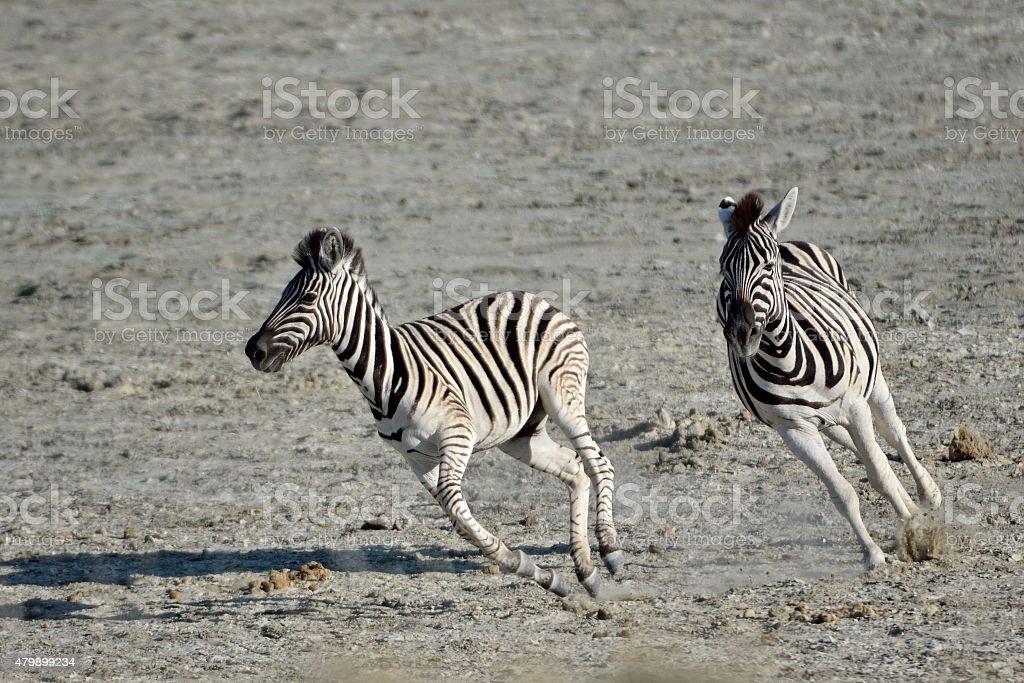 running zebras stock photo