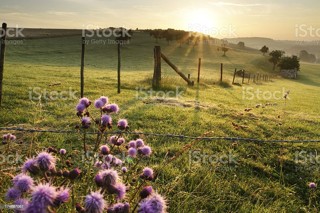 Runrise landscape with purple thistle flowers stock photo