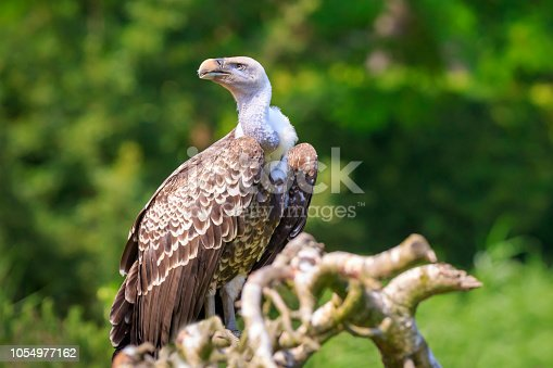 Natural closeup of a Ruppell's griffon vulture Gyps rueppellii bird of prey perched on a branch in a green forest