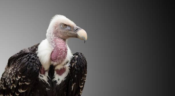vautour d'un ruppell fauve (gyps rueppelii - imitant un animal photos et images de collection