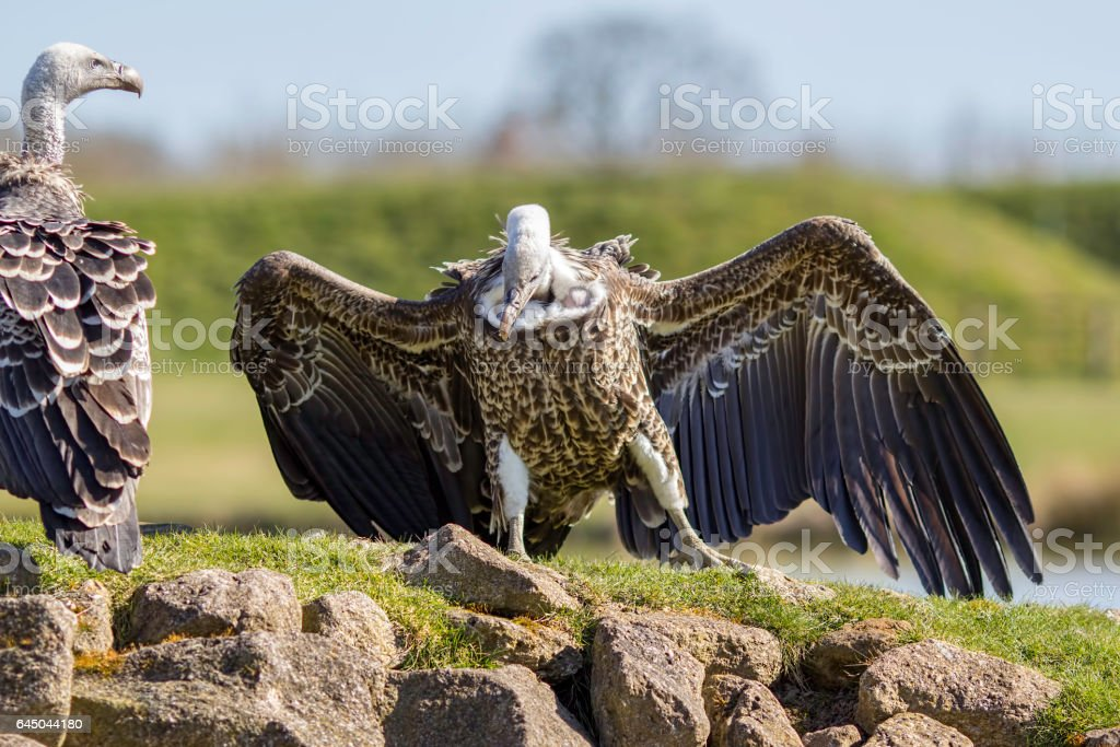 Ruppells griffon vultures on rocky outcrop stock photo