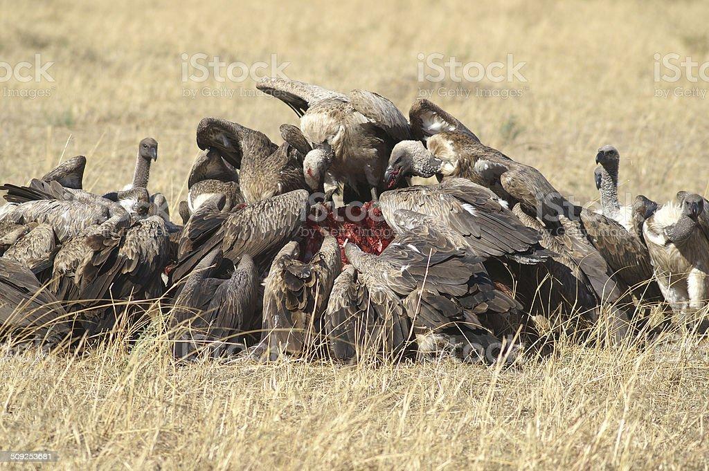 Ruppels griffon vulture stock photo