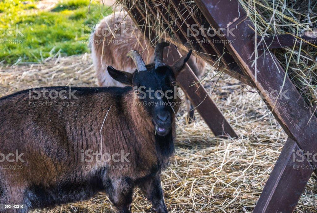 Rural animal husbandry. Funny domestic goat stock photo