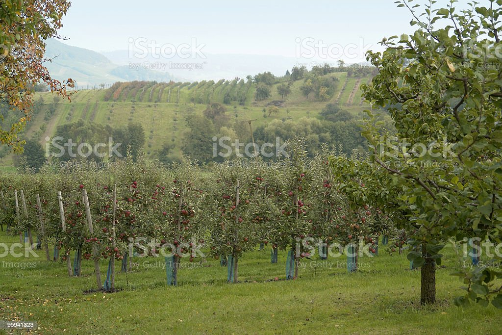 rural apple plantation royalty-free stock photo