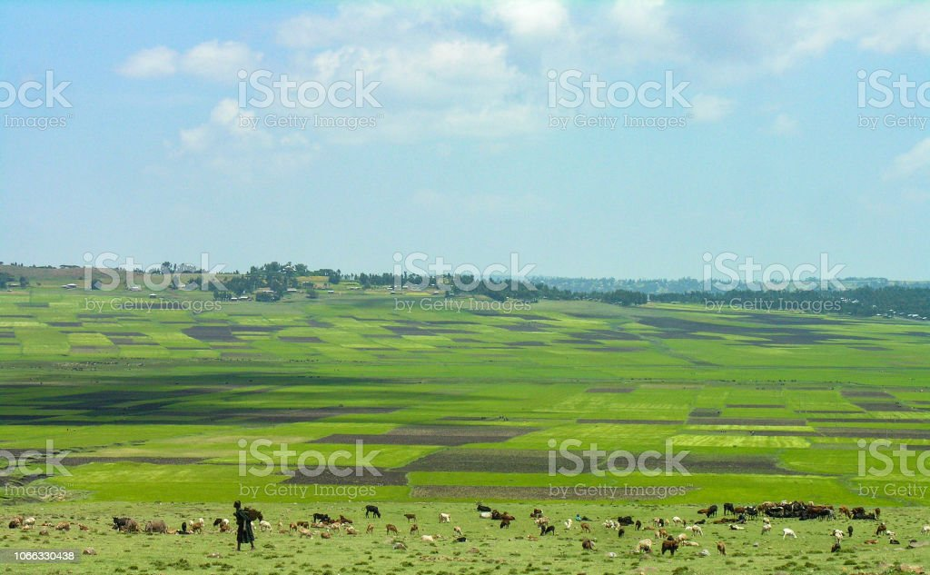 Rural Ethiopian scene, woman and livestock with green fields in the...