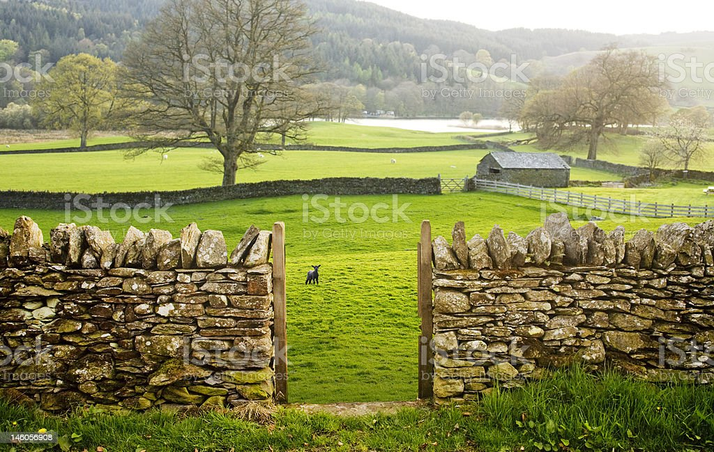 Rural farm, green fields and a lamb. stock photo