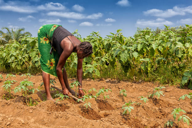rural farmer to till land in cabinda. angola, africa. - angola stock photos and pictures