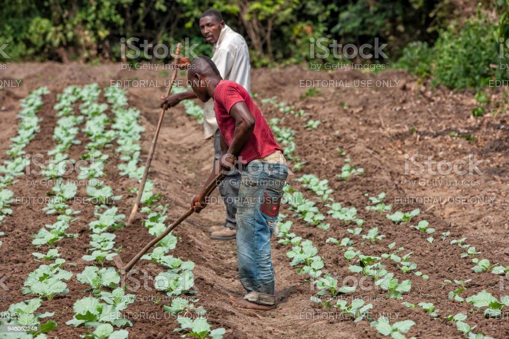 Produtores rurais a cultivar a terra em Cabinda. Angola, África. - foto de acervo