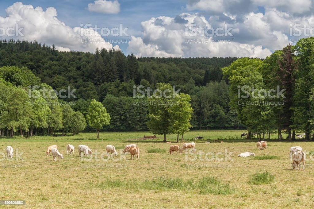 Domaine rural avec des vaches - Photo