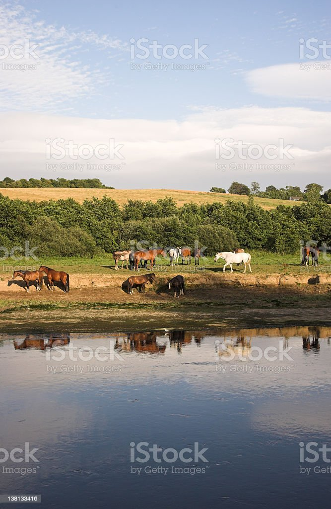 Rural horses by river bank royalty-free stock photo