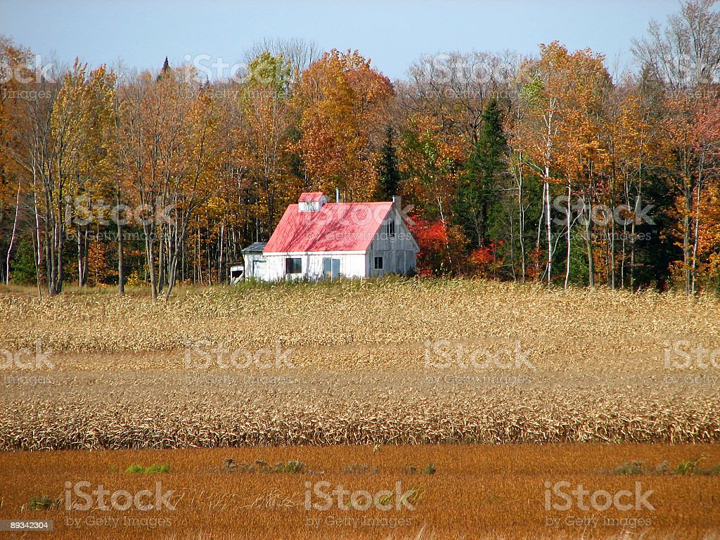 Rural house in the golden cornfield royalty-free stock photo