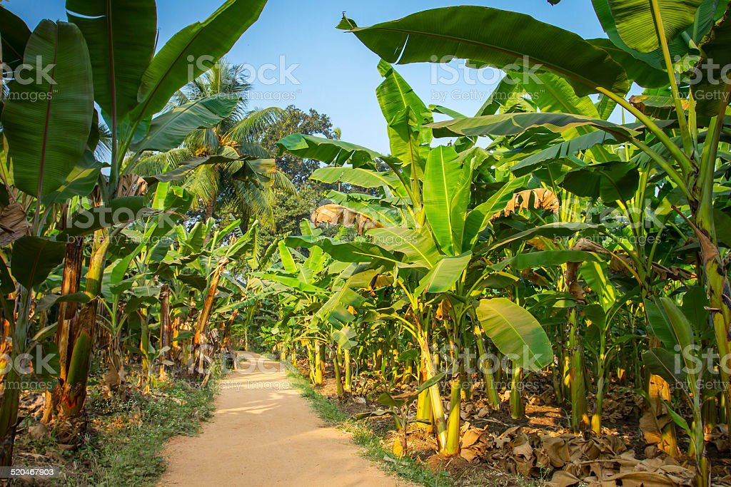 Rural landscape common road through banana plantation in India stock photo