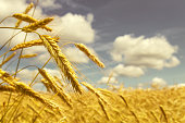 Summer rural landscape with  field of ripe wheat