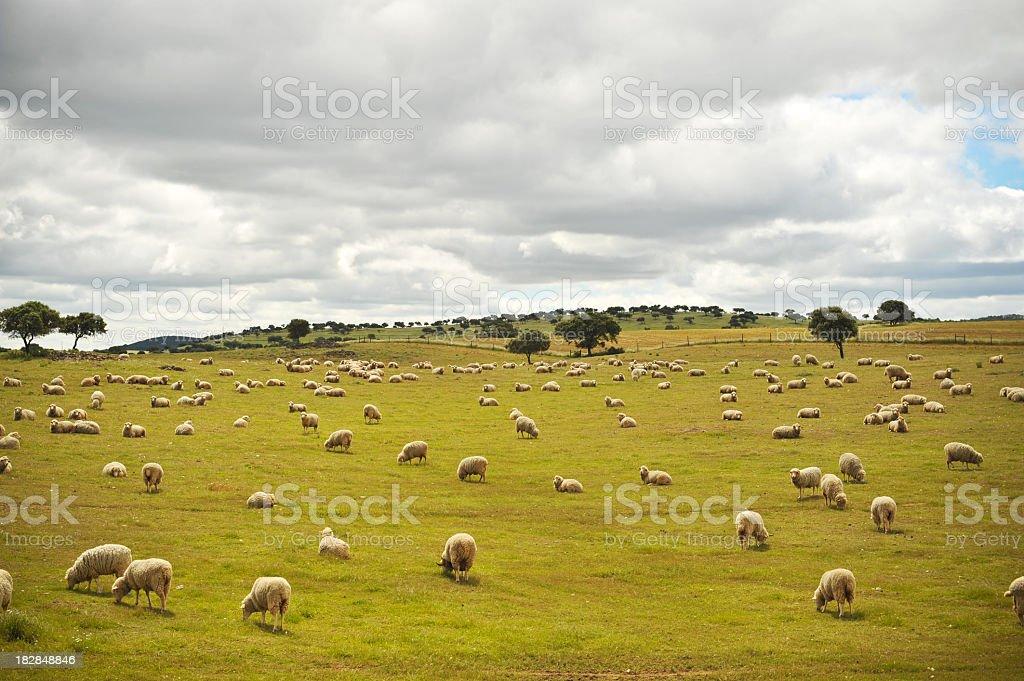 Ländliche Landschaft mit flock of sheep – Foto
