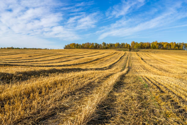 Rural landscape with oat field at harvest stock photo