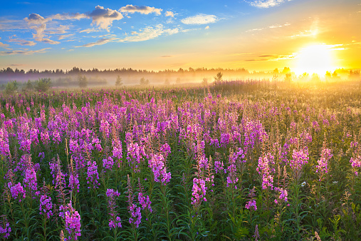 beautiful rural landscape with the sunrise  and  blossoming meadow