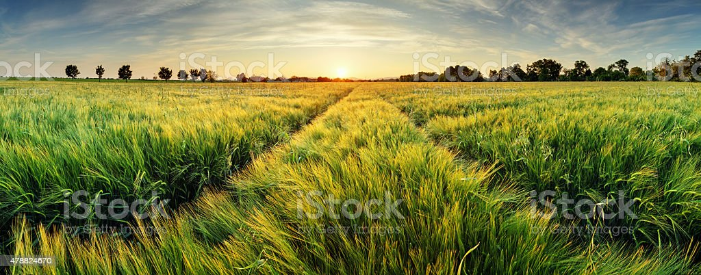 Rural landscape with wheat field on sunset stock photo