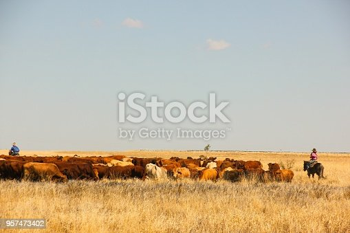 Cowboy and cowgirl on horses keeping cattle together on countryside field in Queensland, Australia