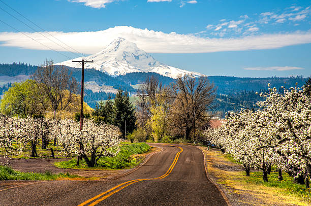 Rural road, apple orchards, Mt. Hood Rural road among apple orchards of Hood River Valley mt hood stock pictures, royalty-free photos & images